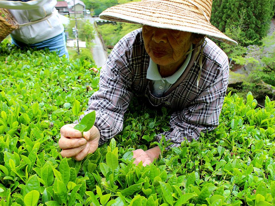 手際よく茶が摘み取られる はてしないお茶物語