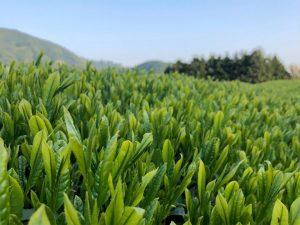 足久保の茶畑
