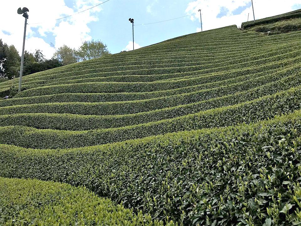 急な傾斜の茶畑(足久保ティーワークス提供)